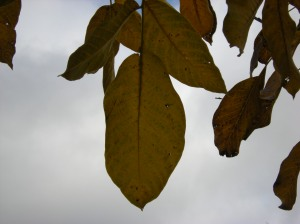 walnut tree leaves against sky