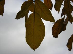 walnut tree leaves against sky