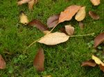 walnut tree leaves on grass