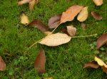 walnut tree leaves on grass
