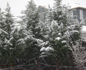 alaskan cedars with snow