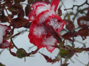 rose in snow
