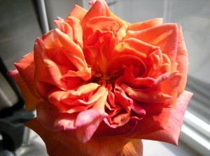 talisman rose