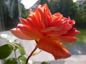 talisman rose bloom
