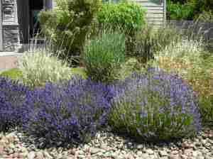 Lavender bushes from front of house