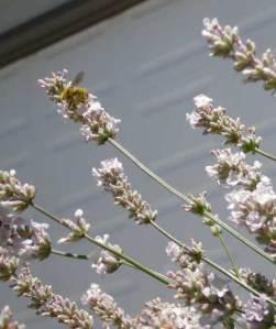 melissa lavender