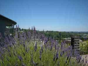 Lavender at top of OC ELevator