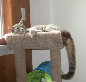 dexter hanging off cat tree